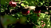 KKuriren_Urshults äpplekungar